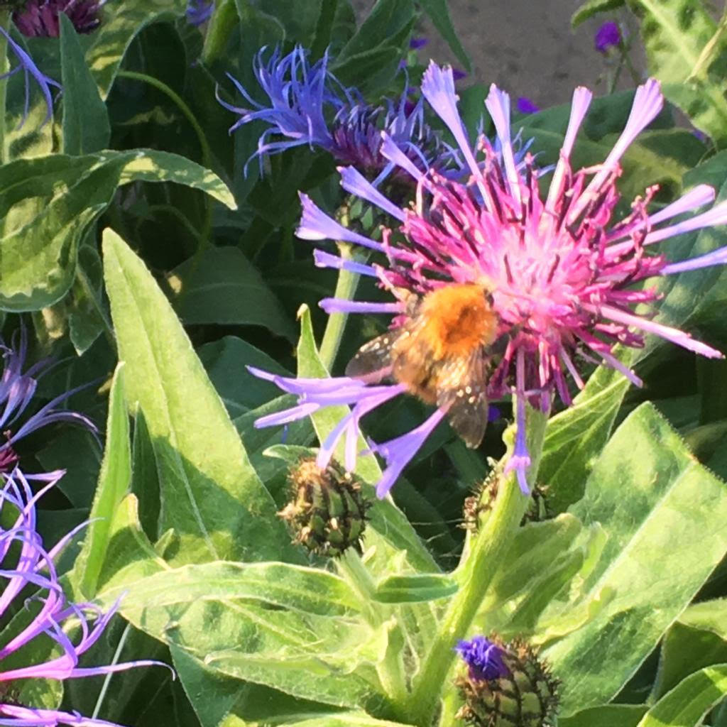 Bee on Cornflower by Marion Colledge